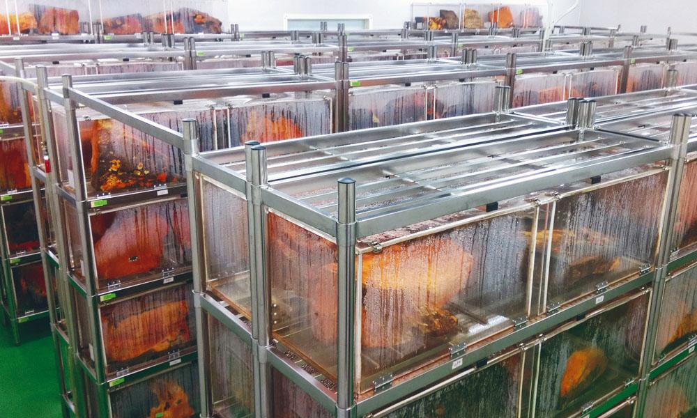 段木植菌栽培牛樟芝子實體之新型技術